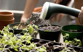 A person with a watering can showers a row of potted plants