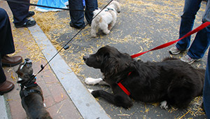 Three dogs on leash enjoying SomerStreets 2011